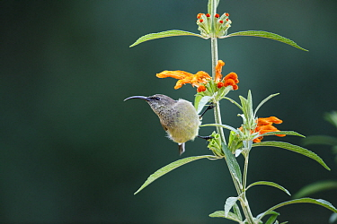 Greater Double-collared Sunbird (Nectarinia afra) female, Garden Route National Park, South Africa
