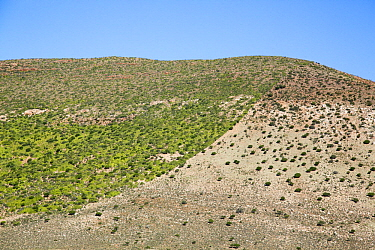 Elephant Bush (Portulacaria afra) growing on hillside unaffected by livestock grazing, Willowmore, South Africa