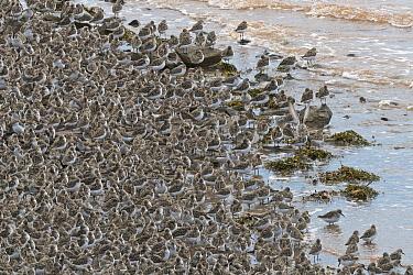 Semipalmated Sandpiper (Calidris pusilla) flock on beach, Bay of Fundy, New Brunswick, Canada