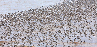 Semipalmated Sandpiper (Calidris pusilla) flock flying, Bay of Fundy, New Brunswick, Canada