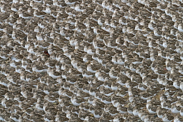 Semipalmated Sandpiper (Calidris pusilla) flock sleeping on beach, Bay of Fundy, New Brunswick, Canada