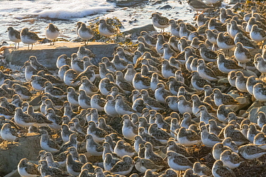 Semipalmated Sandpiper (Calidris pusilla) flock on beach, Bay of Fundy, New Brunswick, Canada