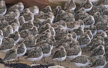 Semipalmated Sandpiper (Calidris pusilla) flock sleeping on beach, Bay of Fundy, New Brunswick, Canada