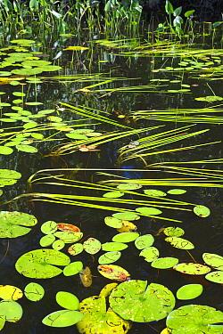 Watershield (Brasenia schreberi), Cattail (Sparganium sp), and Broadleaf Arrowhead (Sagittaria latifolia), Black Lake, Wisconsin