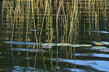 Reeds reflected in water, Black Lake, Wisconsin