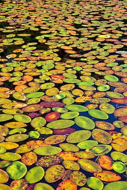 Watershield (Brasenia schreberi) leaves in autumn, Black Lake, Wisconsin