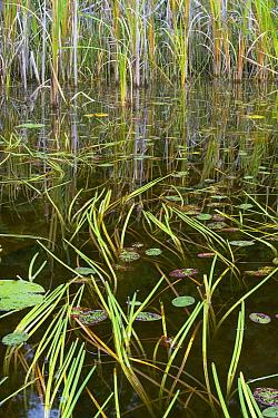 Cattail (Sparganium sp) leaves in autumn, Chancellor Lake, Ontario, Canada