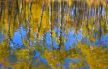 Paper Birch (Betula papyrifera) trees reflected in water, Hooker Lake, North Dakota