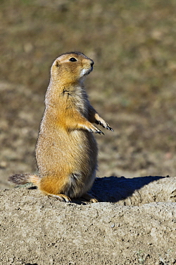 Black-tailed Prairie Dog (Cynomys ludovicianus) on alert, Theodore Roosevelt National Park, North Dakota