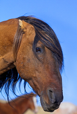 Mustang (Equus caballus) stallion pinning his ears to warn a rival getting too close, Oshoto, Wyoming