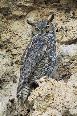 Great Horned Owl (Bubo virginianus) on calcium tufa formation, Mono Lake, California