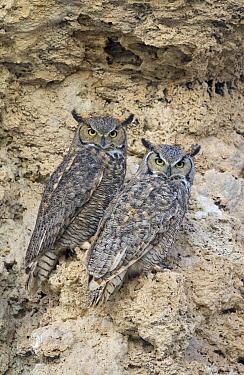 Great Horned Owl (Bubo virginianus) pair on calcium tufa formation, Mono Lake, California