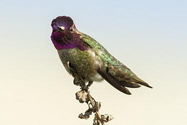 Anna's Hummingbird (Calypte anna) male, San Diego, California