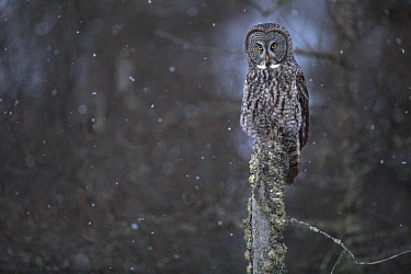 Great Gray Owl (Strix nebulosa) in snowfall, Sax-Zim Bog, Minnesota
