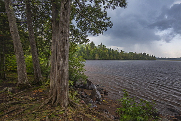 Northern White Cedar (Thuja occidentalis) trees at lake during storm, Minnesota