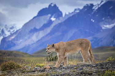 Mountain Lion (Puma concolor) and mountains, Cordillera Paine, Torres del Paine National Park, Chile