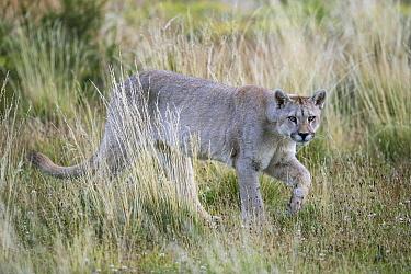 Mountain Lion (Puma concolor), Torres del Paine National Park, Chile