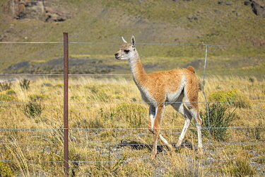 Guanaco (Lama guanicoe) cria stuck behind ranch fence, Torres del Paine National Park, Chile