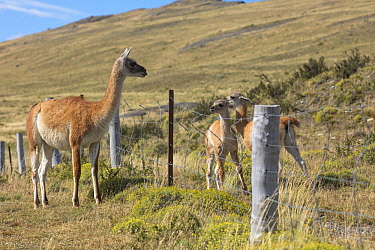 Guanaco (Lama guanicoe) mother looking at crias stuck behind ranch fence, Torres del Paine National Park, Chile