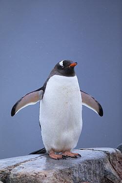 Gentoo Penguin (Pygoscelis papua) wet from rain due to climate change, Antarctica