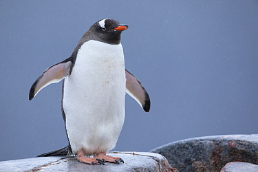 Gentoo Penguin (Pygoscelis papua) wet from rain due to climate change, Antarctica
