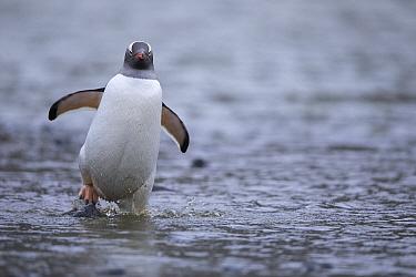 Gentoo Penguin (Pygoscelis papua) wading, Antarctica