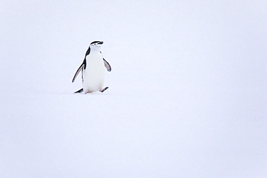 Chinstrap Penguin (Pygoscelis antarctica) on snow, Antarctica