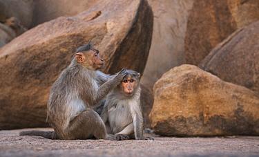 Hanuman Langur (Presbytis entellus) pair grooming, Hampi, Karnataka, India