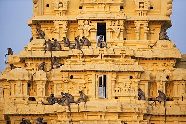 Hanuman Langur (Semnopithecus entellus) group on temple, Virupaksha Temple, Hampi, Karnataka, India
