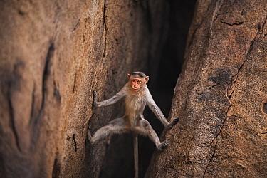 Hanuman Langur (Presbytis entellus) juvenile climbing down cliff, Hampi, Karnataka, India
