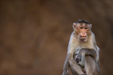 Hanuman Langur (Presbytis entellus) male, Hampi, Karnataka, India