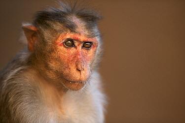 Hanuman Langur (Presbytis entellus) female, Hampi, Karnataka, India