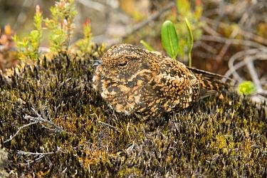 Swallow-tailed Nightjar (Uropsalis segmentata) female on nest, South America