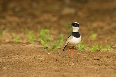Pied Lapwing (Vanellus cayanus), South America