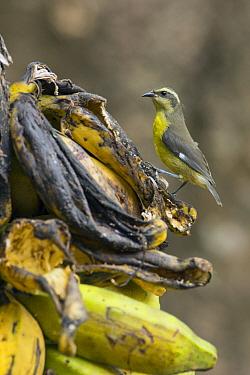 Bananaquit (Coereba flaveola) on Banana (Musa sp) fruit, South America