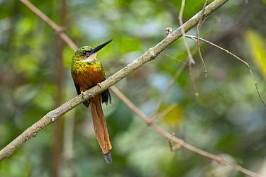 Rufous-tailed Jacamar (Galbula ruficauda), South America