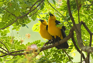 Oriole Blackbird (Gymnomystax mexicanus) pair courting, South America