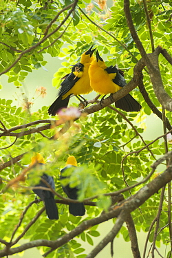 Oriole Blackbird (Gymnomystax mexicanus) pairs courting, South America