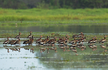 Black-bellied Whistling Duck (Dendrocygna autumnalis) and White-faced Whistling-Duck (Dendrocygna viduata) flock in wetland, Colombia