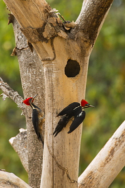Lineated Woodpecker (Dryocopus lineatus) pair at nest cavity, South America