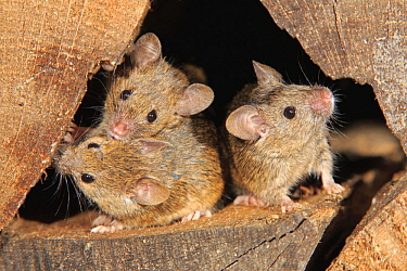 House Mouse (Mus musculus) trio, Ellerstadt, Rhineland-Palatinate, Germany