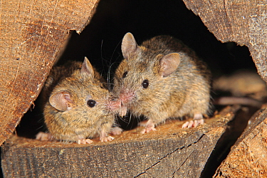 House Mouse (Mus musculus) pair smelling each other, Ellerstadt, Rhineland-Palatinate, Germany