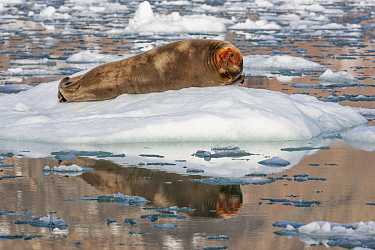 Bearded Seal (Erignathus barbatus) on ice floe with head dyed from high iron content in prey, Svalbard, Norway