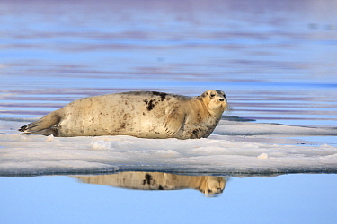 Bearded Seal (Erignathus barbatus) on ice floe, Svalbard, Norway