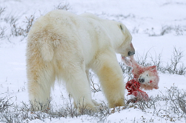 Polar Bear (Ursus maritimus) male feeding on cub he caught and killed from cub's mother, Manitoba, Canada