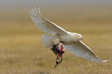 Snowy Owl (Nyctea scandiaca) female carrying Spectacled Eider (Somateria fischeri) prey, Alaska