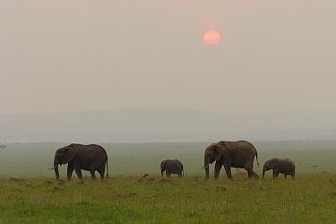 African Elephant (Loxodonta africana) mothers and calves in grassland at sunset, Masai Mara, Kenya