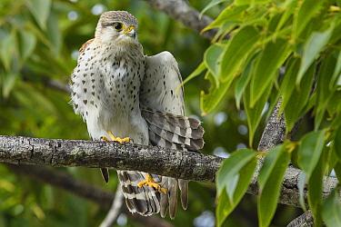 Madagascar Kestrel (Falco newtoni) stretching, Palmarium Reserve, Madagascar
