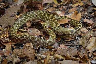 Malagasy Cat-eyed Snake (Madagascarophis colubrinus), Morondava, Madagascar