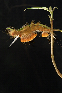 Moth (Lymantriidae) caterpillar, Menglun, Yunnan, China